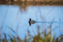 American Coot (Fulica Americana) Swimming On A Calm Pond, Sacramento National Wildlife Refuge, California
