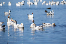 Snow Geese (Chen Caerulescens) Swimming On A Pond In The Sacramento National Wildlife Refuge, California