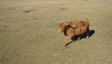 Highland Steer In A Pasture