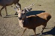 deer in a pasture
