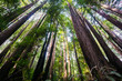 Leinwanddruck Bild - Redwood trees (Sequoia Sempervirens) in the forests of Henry Cowell State Park, Santa Cruz mountains, San Francisco bay area