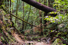 Trail Through The Forests Of Henry Cowell State Park, Santa Cruz Mountains, Felton, San Francisco Bay Area, California