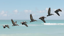 Motion Sequence Of Pelican Fli...