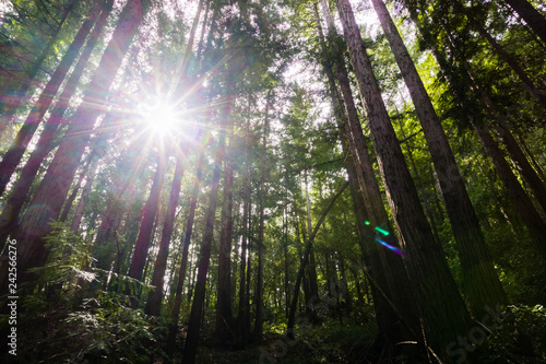 Sun shining through a Redwood trees forest (Sequoia Sempervirens) in the forests of Henry Cowell State Park, Santa Cruz mountains, San Francisco bay area