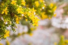 Creosote Bush (Larrea Tridentata) Blooming In Coachella Valley, South California