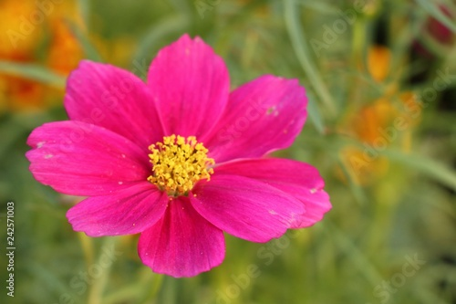 Cosmos flower in tropical