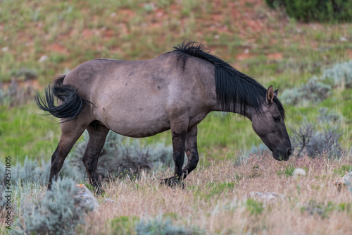 Photo  Wild Horses in the Pryor Mountains Wild Horse Range in Montana - Wyoming USA