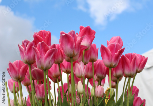 Photo  Lovely, variegated pink and white tulips with sky and clouds