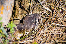 Close Up Of Young Northern Pacific Rattlesnake  (Crotalus Oreganus Oreganus) Head Peeking From Under A Rock On A Sunny Day, South San Francisco Bay Area, San Jose, California