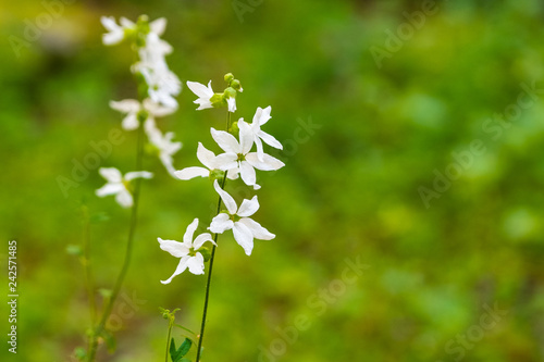 Woodland star (Lithophragma affine), San Francisco bay area, California Wallpaper Mural