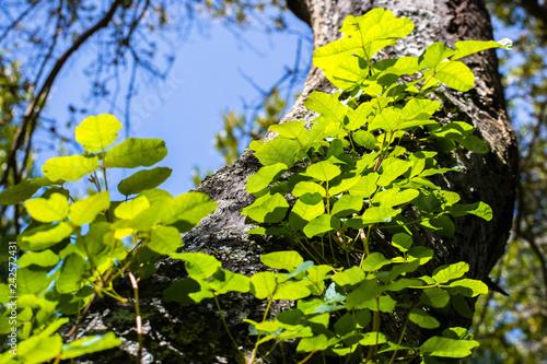 Fotografia, Obraz Looking up to a Poison oak vine climbing on a tree trunk, San Francisco bay area