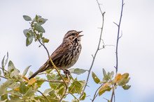 Close Up Of Song Sparrow (Melospiza Melodia) Singing While Perched On Top Of A Shrub; San Francisco Bay Area, California