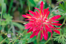 Close Up Of Indian Paintbrush (Castilleja) Wildflower, Alameda County, San Francisco Bay Area, California