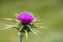 Close Up Of Milk Thistle (Silybum Marianum) Blooming In San Francisco Bay Area, California; Native Of Southern Europe Through To Asia