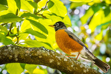 American Robin (Turdus Migratorius) Perched On A Branch; Verdant Foliage In The Background; San Francisco Bay Area, California