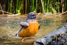 American Robin (Turdus Migrato...