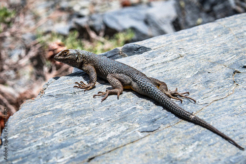 Photo  Western Fence Lizard (Sceloporus occidentalis) sitting on a rock, Death Valley N