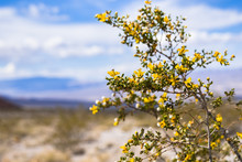 Creosote Bush (Larrea Tridentata) Blooming In Death Valley National Park, California