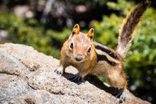 Frontal View Of Cute Chipmunk, Lassen Volcanic Park National Park, Northern California