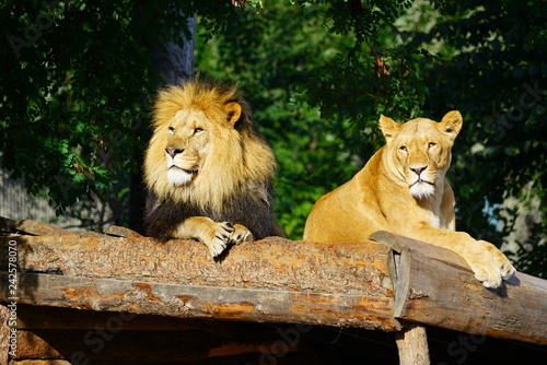 Photo  A majestic lion and his lioness at the Copenhagen Zoo