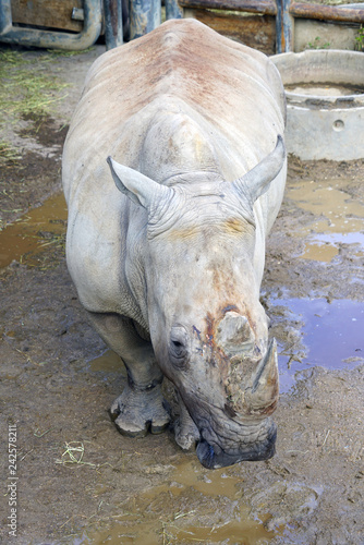 Fotografie, Obraz  View of a rhinoceros with horn at the Copenhagen Zoo
