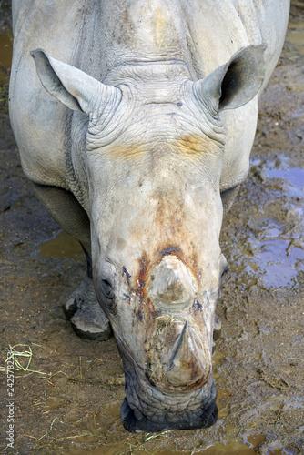 Fényképezés  View of a rhinoceros with horn at the Copenhagen Zoo