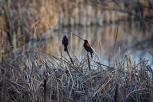 Red Winged Blackbird (Agelaius...
