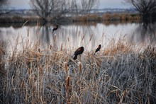 Red Winged Blackbird (Agelaius Phoeniceus) Close Up In The Wild In Colorado Is A Passerine Bird Of The Family Icteridae Found In Most Of North America And Much Of Central America. Pond, Broomfield CO