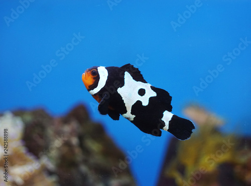 Canvas Print black and white clownfish in the coral reef