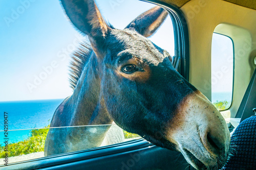 Fotografiet Wild donkey is begging a car driver for food