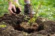canvas print picture - Mann beim Einpflanzen von einem Brombeerstrauch, Hände mit Erde und Rindenmulch