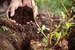 canvas print picture - Ein Brombeerstrauch wird in die Erde gepflanzt, Hände mit Humus oder Komposterde
