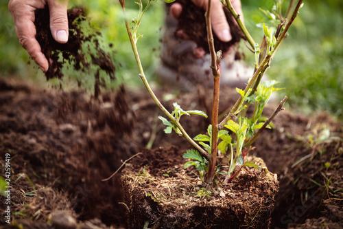 Fotografie, Obraz Gärtner beim Einpflanzen von Rubus sectio Rubus, Nahaufnahme