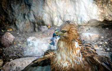 Close up of a golden eagle (Aquila chrysaetos) head in profile, showing its russet feathers, brown eye and yellow and gray beak against a stone background, Israel