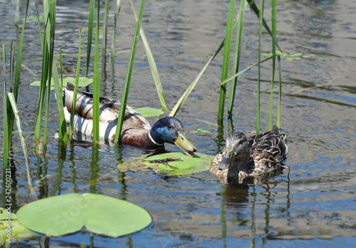 Fotografie, Obraz  Duck floating in the lake