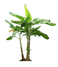 Banana Tree Isolated On A Whit...
