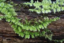 Rough-stalked Feather-moss, Brachythecium Rutabulum