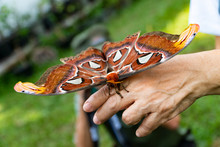 The Atlas Moth Rests On A Hand...