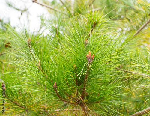 Fotografija  An evergreen tree and its new spring on selective focus and blurred background