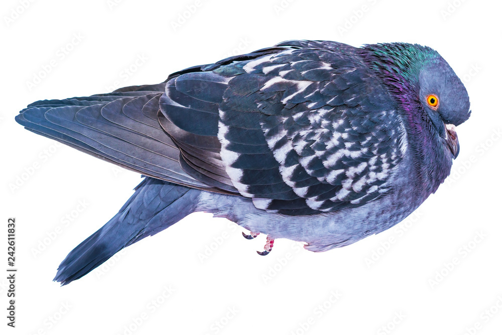 Bird pigeon closeup, isolated on white background