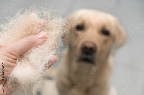 Dog wool close up. Concept of animal molting © Юлия Усикова