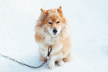 Fluffy Red Chained Dog Outdoor...