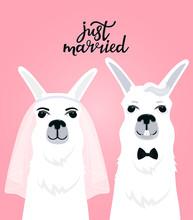 Couple Llamas Newlyweds. Bride...
