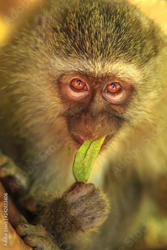 Fotografie, Obraz  Portrait of Vervet Monkey, Chlorocebus pygerythrus, a monkey of the family Cercopithecidae eating