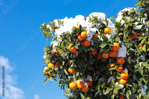 Tangerines on the tree branches covered with snow Athens, Greece, January 8th 2019.