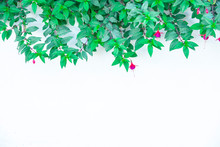 Blurred For Background.Natural Frame Of Fuchsia Flowers On White Wall.