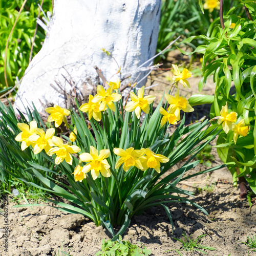 Fototapety, obrazy: Spring flowering bulb plants in the flowerbed. Flowers daffodil