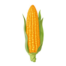 Ripe Corn Cob With Leaves. Ear Of Corn. Hand Drawn Vector Illustration.
