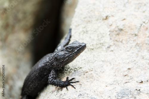 Photographie  Portrait d'un lézard noir sur un rocher.