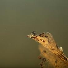 Neocaridina On Topp Of A Leaf